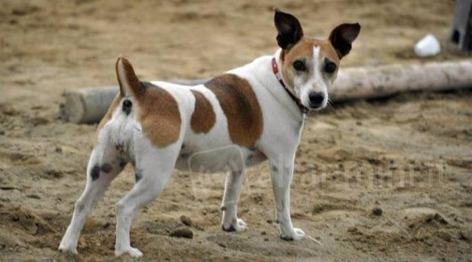 Il Jack Russell Gina